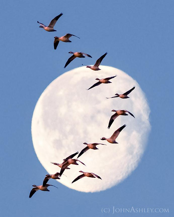 John-Ashley-Snow-Goose-Moon-web_1459107211